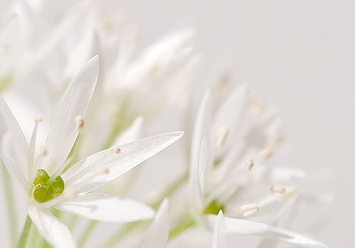 NATURKINDER: Ramson Close Up 7169
