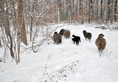 NATURKINDER: Schafe im Schnee