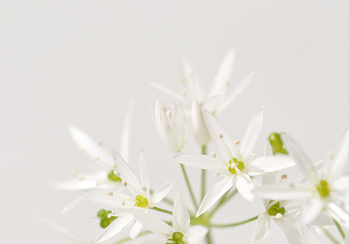 NATURKINDER: Ramson Close Up 7175