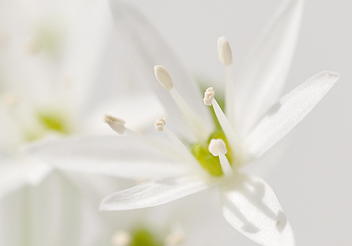 NATURKINDER: Ramson Close Up 7188