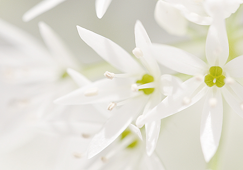 NATURKINDER: Ramson Close Up 7165