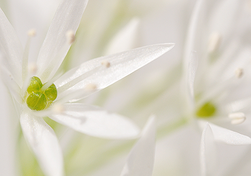 NATURKINDER: Ramson Close Up 7179